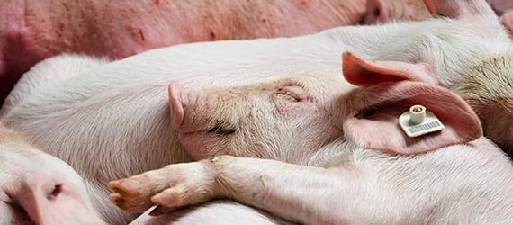 Pigs at pigfarm